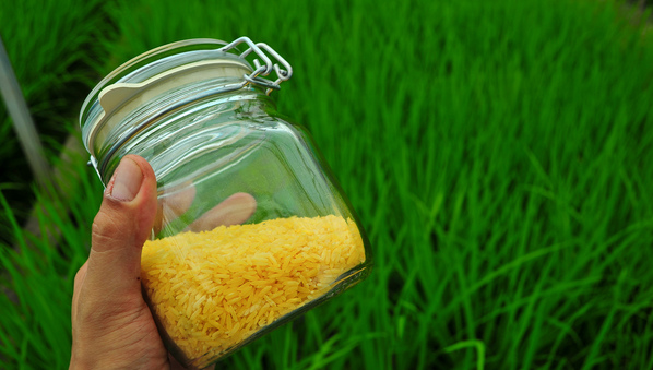 Asian-golden-rice-research-to-continue-despite-protests-