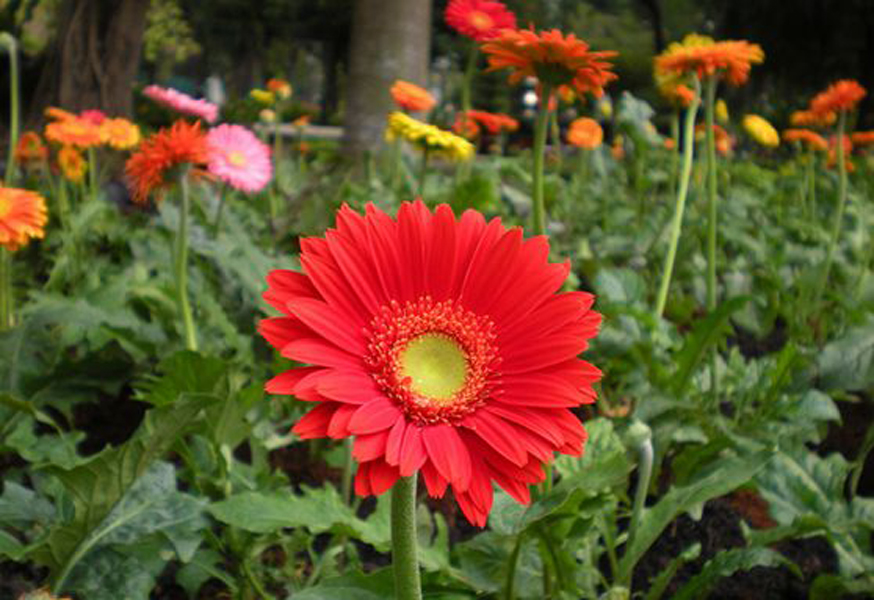 Gerbera-jamesonii-seed